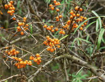 Seabuckthorn bush. Seabuckthorn plant bush with berries Stock Photography