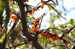 Seabuckthorn. 2014.10.22 on China Seabuckthorn Royalty Free Stock Images