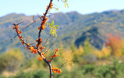 Seabuckthorn fruits Royalty Free Stock Photos