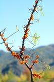 Seabuckthorn frukter Arkivfoto