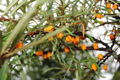 Seabuckthorn (Hippophae) - thorny shrub with orange berries Stock Photo