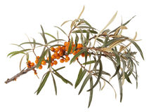 Seabuckthorn Royalty Free Stock Photos
