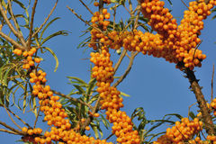 Seabuckthorn. Is not only tasty and healthy berry, but also garden decoration Stock Photo