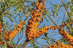 Seabuckthorn. Is not only tasty and healthy berry, but also garden decoration Stock Images
