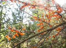 Seabuckthorn plant branches full with fruits Royalty Free Stock Photos