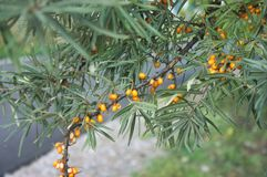 Seabuckthorn. Is ripe and it is high time to assemble it Stock Image