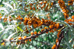 Seabuckthorn. Tree of seabuckthorn with ripe berries on the branches Royalty Free Stock Photography