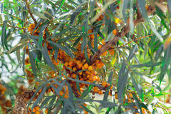 Seabuckthorn. Tree of seabuckthorn with ripe berries on the branches Royalty Free Stock Images
