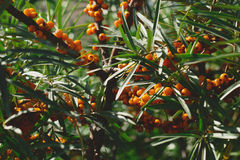 Seabuckthorn. Tree of seabuckthorn with ripe berries on the branches Royalty Free Stock Photo