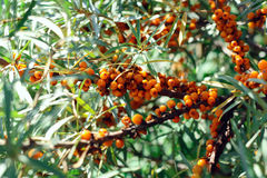 Seabuckthorn. Tree of seabuckthorn with ripe berries on the branches Royalty Free Stock Image
