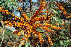 Seabuckthorn. Tree of seabuckthorn with ripe berries on the branches Stock Images
