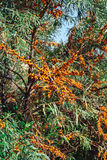 Seabuckthorn. Tree of seabuckthorn with ripe berries on the branches Stock Image
