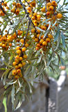 Seabuckthorn. Vitamin branch nature medical Seabuckthorn Stock Photography