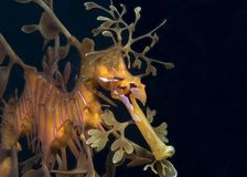 Seadragon feuillu Photos libres de droits