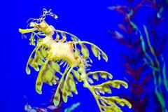 Seadragon feuillu Photo stock