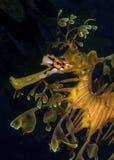 Seadragon feuillu Image stock