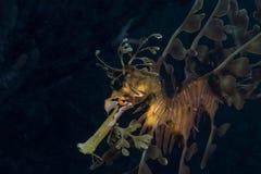 Seadragon feuillu Photographie stock