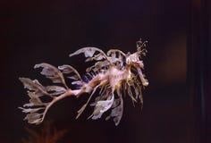 Seadragon feuillu, eques de Phycodurus image libre de droits