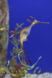 Seadragon feuillu sous-marin photographie stock
