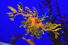 Seadragon frondoso Imagens de Stock Royalty Free