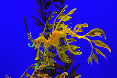 Seadragon frondoso Fotos de Stock