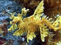 Seadragon frondoso Fotografia Stock