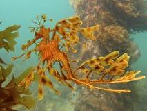 Seadragon frondoso Immagini Stock