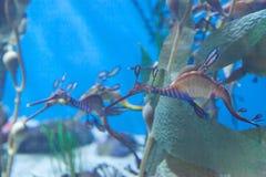 Seadragon lleno de yerbajos, taeniolatus de Phyllopteryx fotografía de archivo