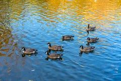Seaducks Mergini zijn een stam subfamily van de eend van vogel stock afbeeldingen