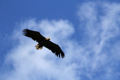 Seaeagle in the air. Stock Photography