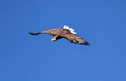 Seaeagle in the air. Stock Photo