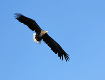 Seaeagle in the air. Royalty Free Stock Photo