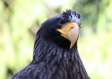 Seaeagle de los stellers del retrato del primer del águila del mar de Steller Imágenes de archivo libres de regalías