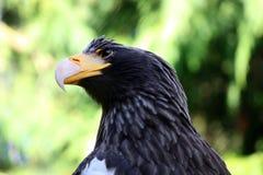 Seaeagle de los stellers del retrato del primer del águila del mar de Steller Fotografía de archivo libre de regalías