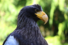 Seaeagle de los stellers del retrato del primer del águila del mar de Steller Fotos de archivo libres de regalías