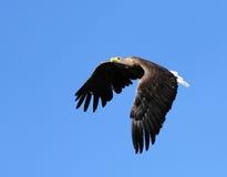 Seaeagle in de lucht. Stock Fotografie