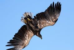 Seaeagle in de lucht. Royalty-vrije Stock Fotografie