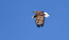 Seaeagle in de lucht. Stock Foto's