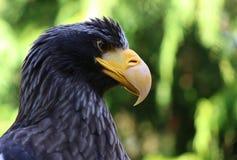 Seaeagle dos stellers do retrato do close up da águia de mar de Steller Fotos de Stock Royalty Free