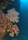 Seafan和软的珊瑚在墙壁礁石 库存照片