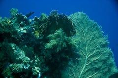 seafan珊瑚的鱼 库存照片