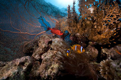 Seafan, anemone and anemonefish Royalty Free Stock Photo