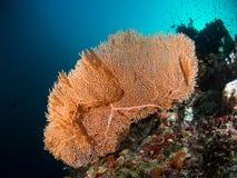 Seafan arancio Immagine Stock
