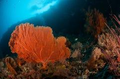 Seafan bunaken sulawesi indonesia melithaea sp. underwater. Photo Stock Photo