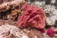 Seafan coloré à l'île de Lipe photographie stock