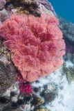 Seafan coloré à l'île de Lipe photo stock
