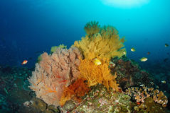 Seafan with coral colony , Similan island Thailand Stock Photo