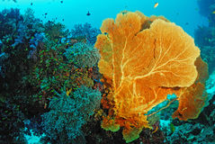 Seafan with coral colony , Similan island Thailand Royalty Free Stock Images