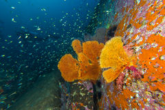 Seafan in coral reef. View of seafan in coral reef with diver in background Royalty Free Stock Photography