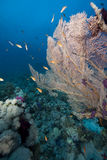 Seafan and fish. Taken in the red sea Stock Photography